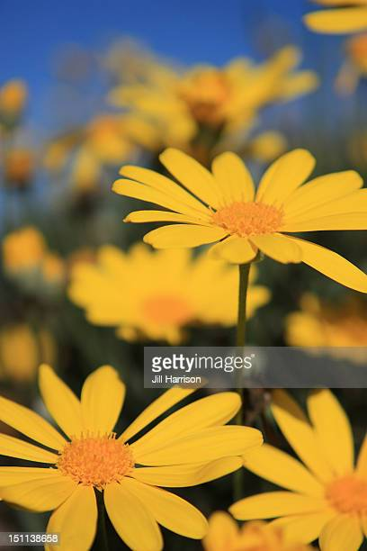 yellow daisies - jill harrison stock pictures, royalty-free photos & images