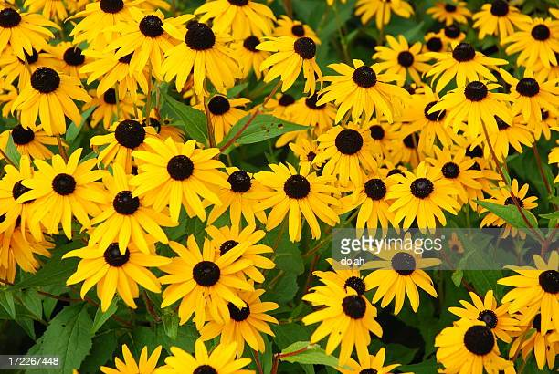 Yellow daisies with brown centers growing freely