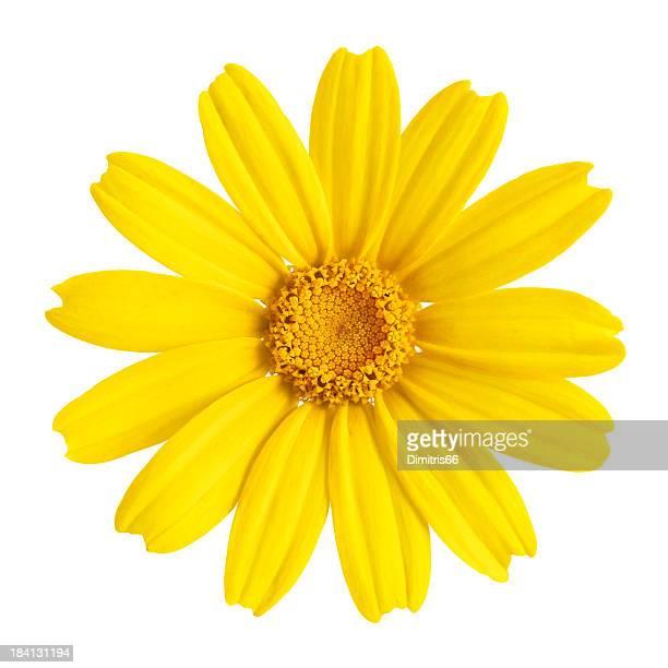 Yellow daisy gros plan