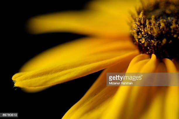 yellow daisy flower - mizanur rahman stock pictures, royalty-free photos & images