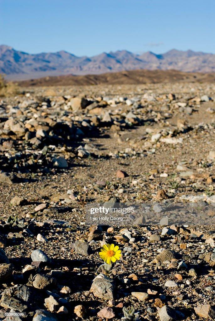 Yellow daisy growing in desert : Stock Photo