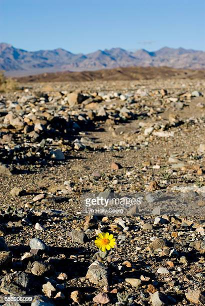 yellow daisy growing in desert - lyn holly coorg imagens e fotografias de stock