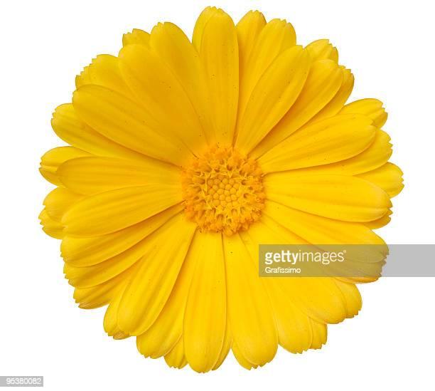 Amarillo daisy Aislado en blanco