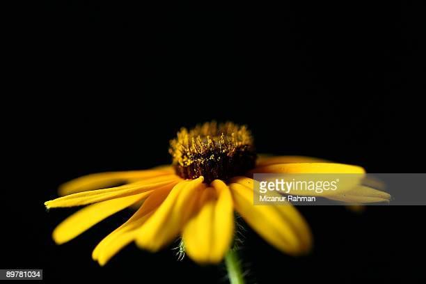 yellow daisy - mizanur rahman stock pictures, royalty-free photos & images