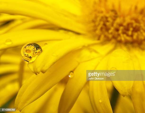 Yellow daisy reflection