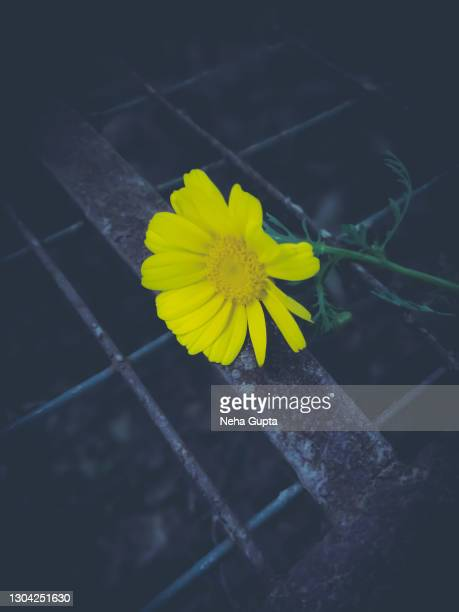 yellow daisy - twilight - neha gupta stock pictures, royalty-free photos & images