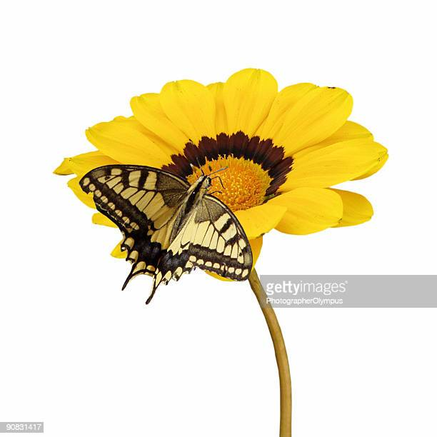 Yellow daisy with butterfly
