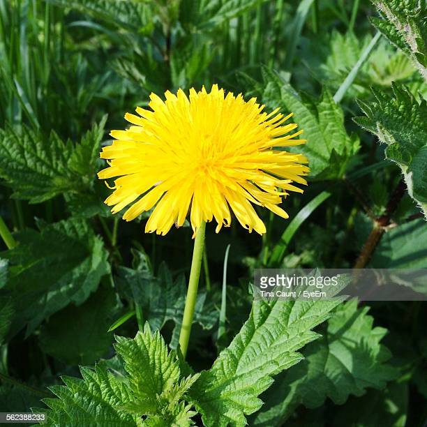 yellow dandelion blooming in park - dandelion leaf stock pictures, royalty-free photos & images