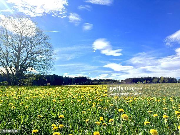 Yellow Dandelion Field