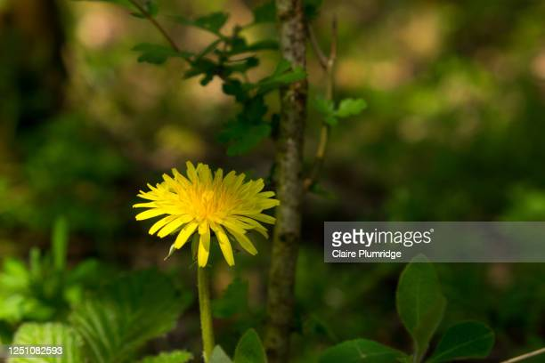 yellow dandelion growing wild, partly in sunshine and shade - newbury england stock pictures, royalty-free photos & images