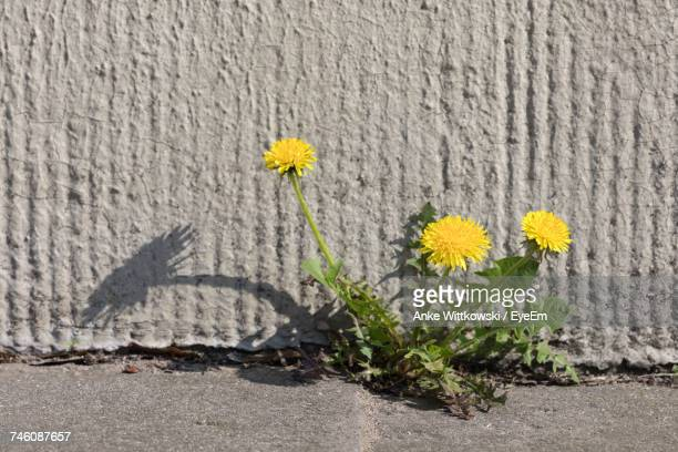 yellow dandelions blooming against concrete wall outdoors - uncultivated stock pictures, royalty-free photos & images