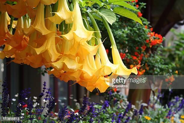 黄色 Datura 花