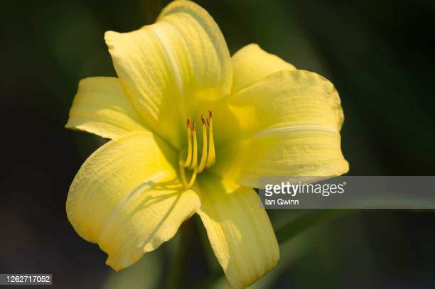 yellow daylily - ian gwinn stock pictures, royalty-free photos & images