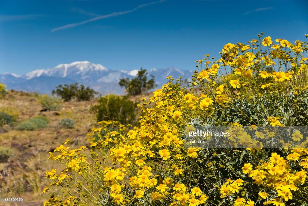 Yellow desert flowers in palm springs california stock photo getty yellow desert flowers in palm springs california stock photo mightylinksfo Images