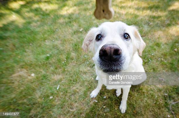 """yellow dog begs for cookie - """"danielle donders"""" stock pictures, royalty-free photos & images"""