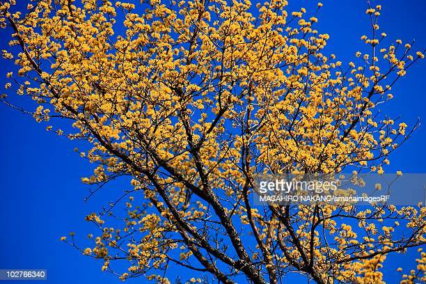yellow dogwood tree in blossom. shinjuku ward, tokyo prefecture, japan - dogwood blossom stock pictures, royalty-free photos & images