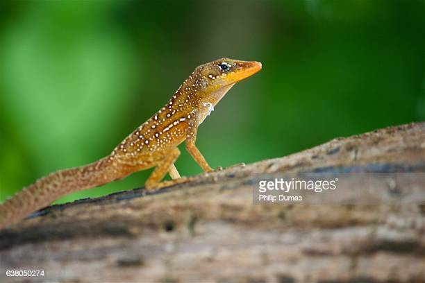yellow dominican anole (anoles oculatus) - anole lizard stock pictures, royalty-free photos & images