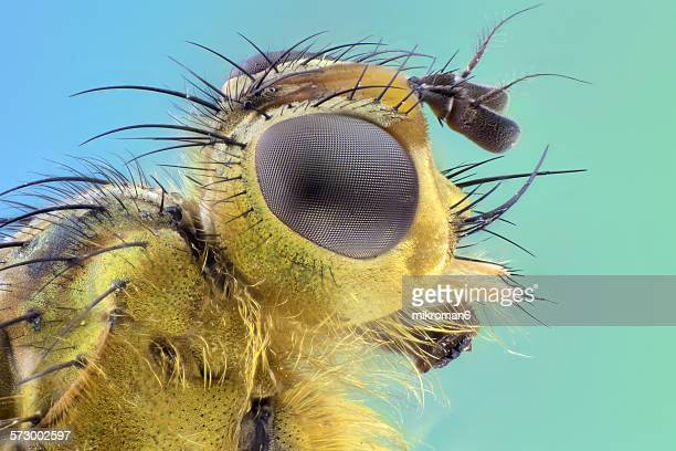 yellow dung fly head - bug eyes stock photos and pictures