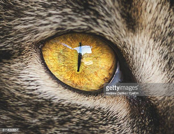 Yellow eye of a cat