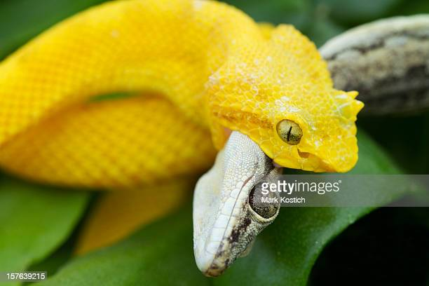 Yellow Eyelash Viper Snake With Gecko