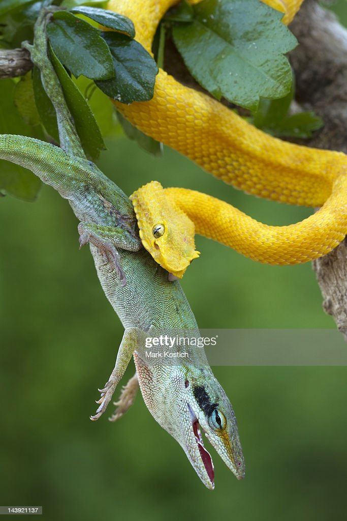Eyelash Viper Stock Photos And Pictures Getty Images