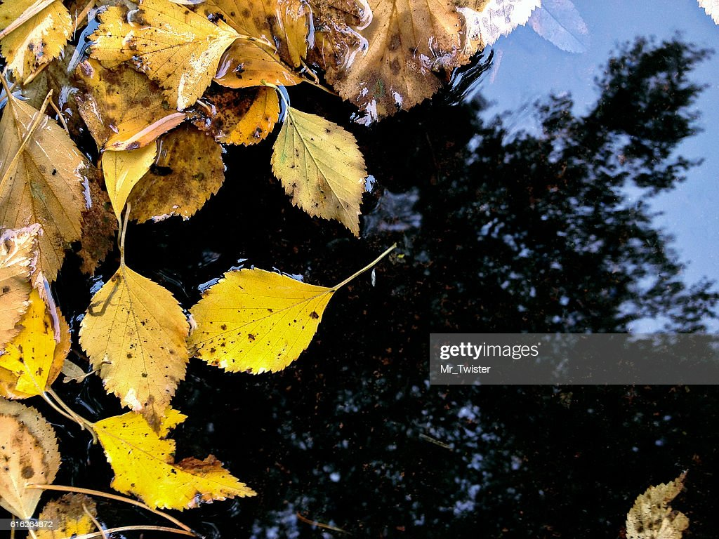 yellow fallen leaves in puddle with reflection of autumn sky : Stock Photo