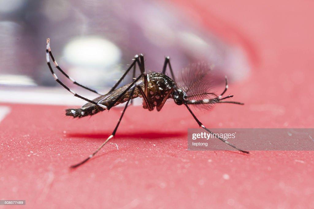 Yellow fever mosquito : Bildbanksbilder