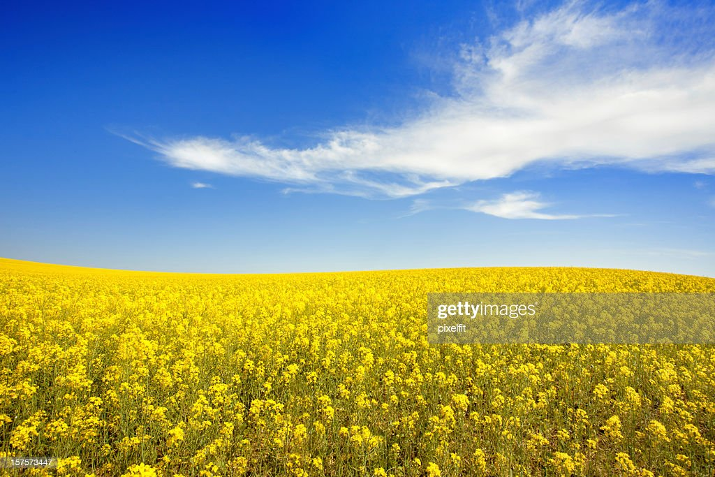Yellow field and sky : Stock Photo
