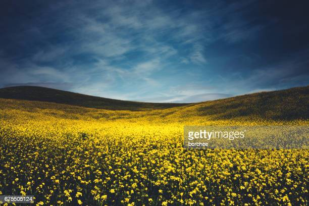 Yellow Field In Tuscany