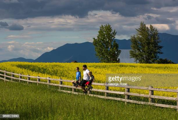 A yellow field of blooming rapeseed is viewed on June 19 near Kalispell Montana Home to Glacier National Park Flathead Lake and dozens of popular...