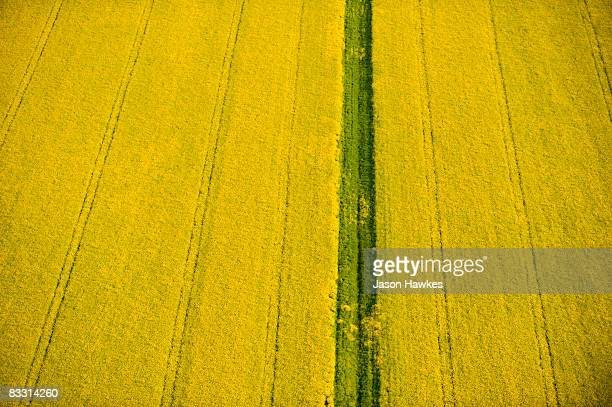 Yellow Field of Rapeseed