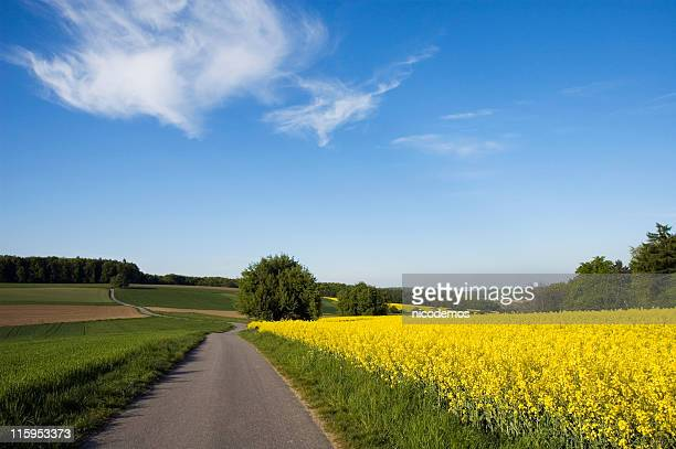 yellow field - brassica stock photos and pictures