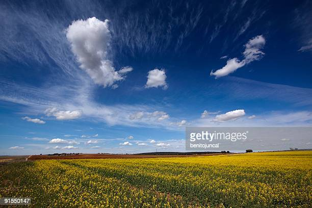 yellow field with cloud - zamora stock pictures, royalty-free photos & images