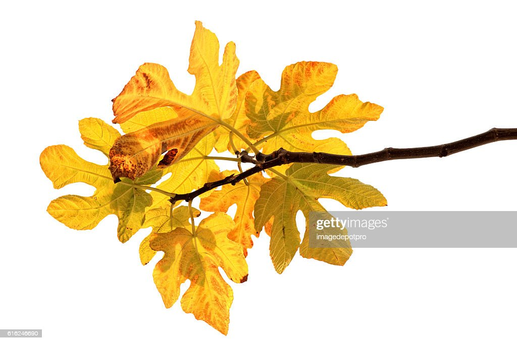 yellow fig tree leaves : Stock Photo