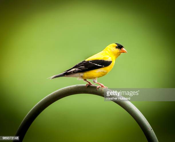 yellow finch - american goldfinch stock pictures, royalty-free photos & images