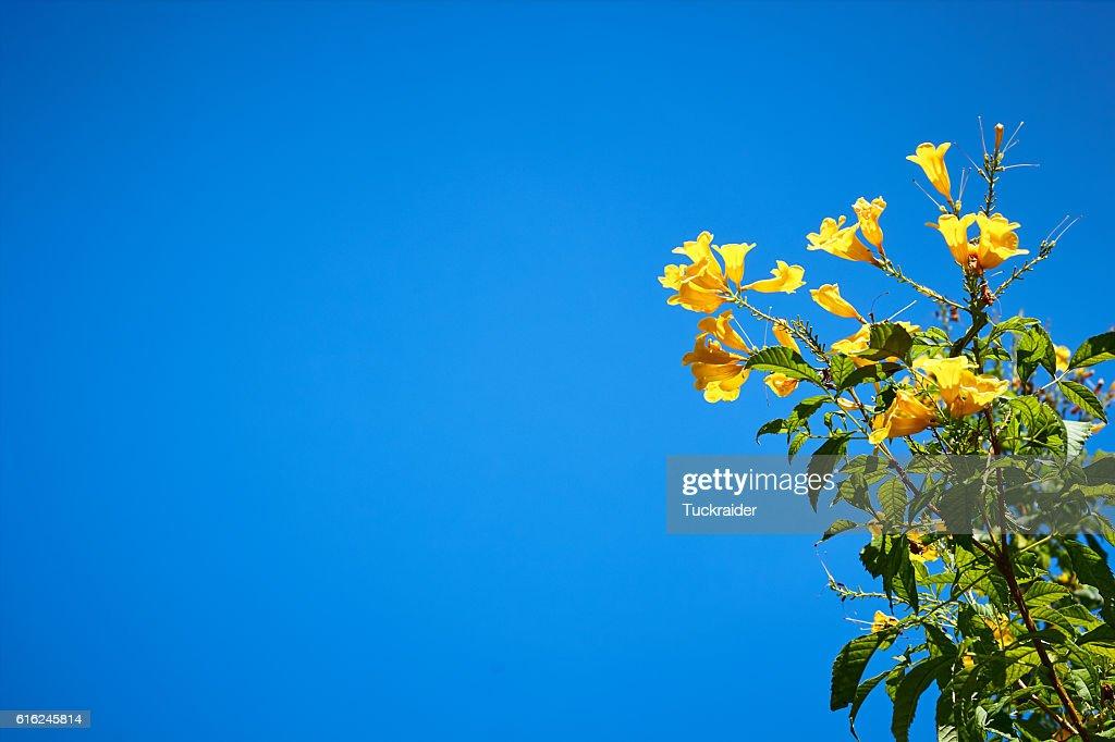 Gelbe Blume und blauer Himmel : Stock-Foto