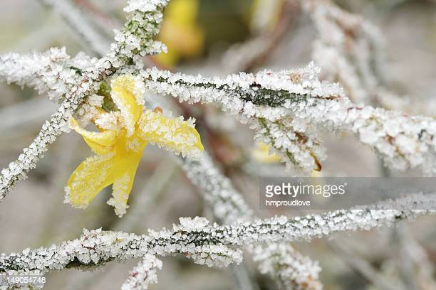 Yellow flower and frost