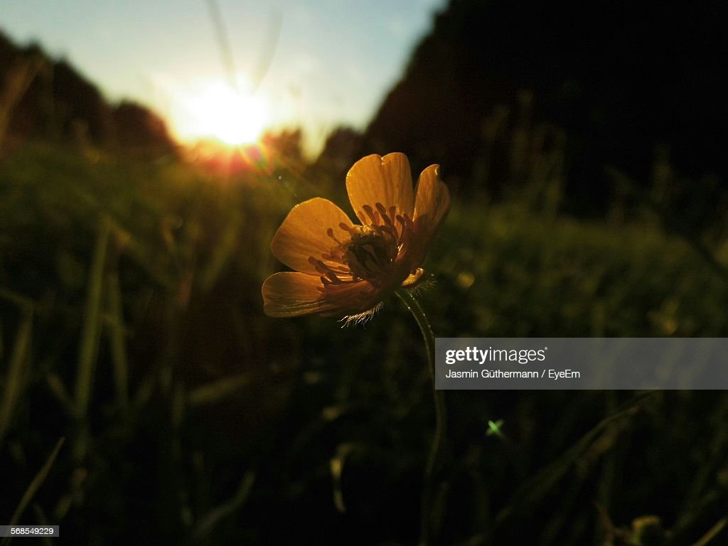 Yellow Flower Blooming On Field During Sunset : Stock Photo