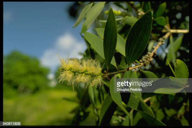 Yellow Flower Blooming on Paper Bark Tree