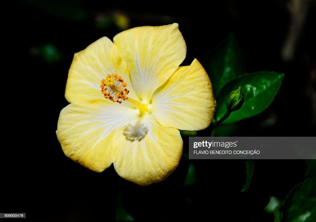 Yellow flower called ibisco in the city of londrina in brazil stock yellow flower called ibisco in the city of londrina in brazil stock photo mightylinksfo