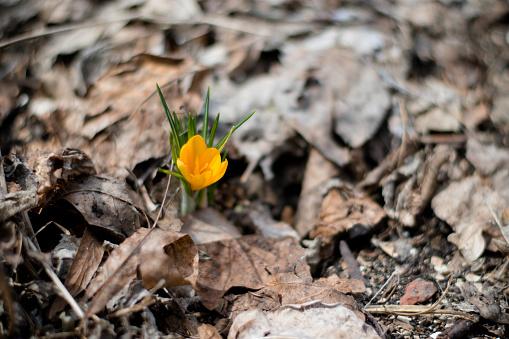 yellow flower crocus 530181358