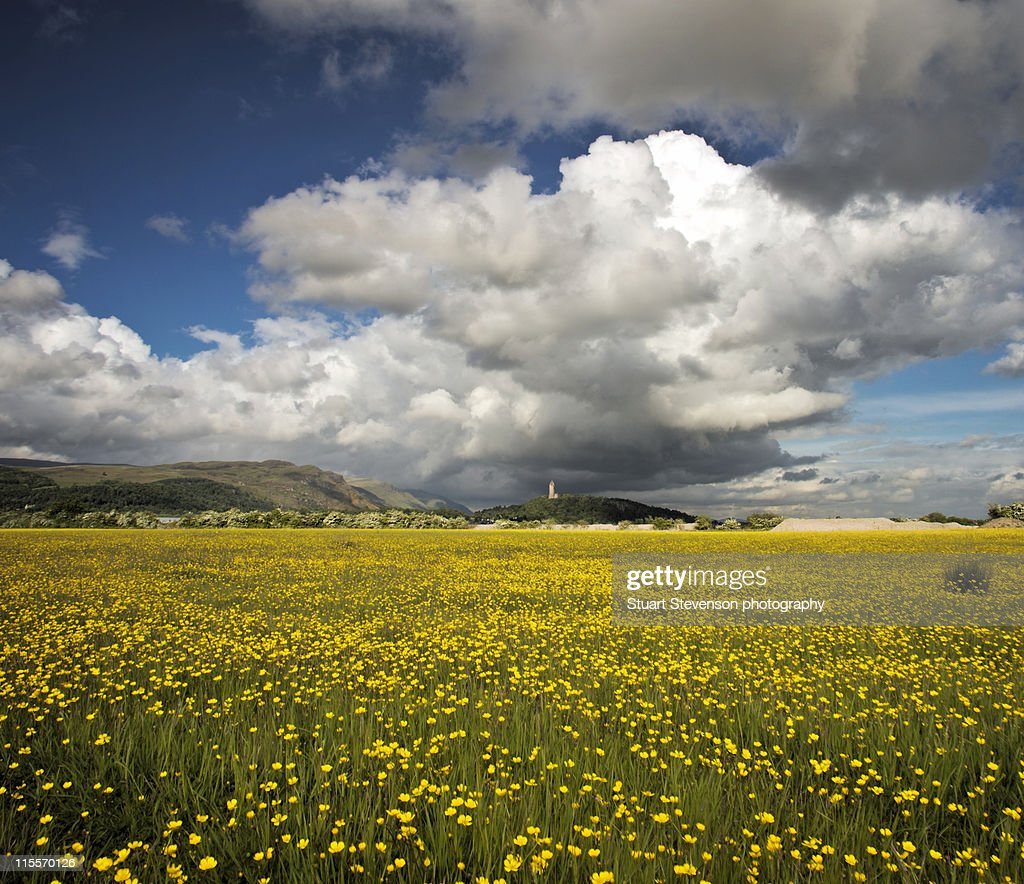 Yellow Flower Field In Scotland Stock Photo Getty Images