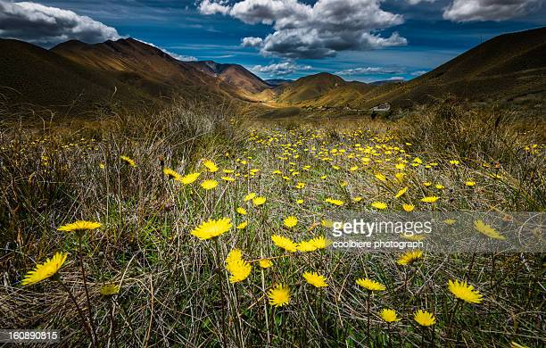 Yellow flower field over Lindiss pass