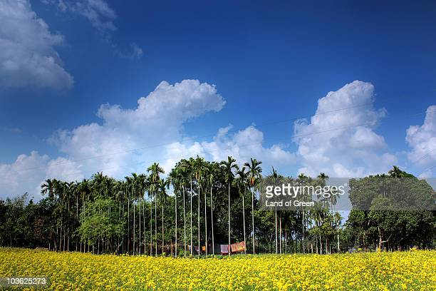 yellow flower field - bangladesh village stock photos and pictures
