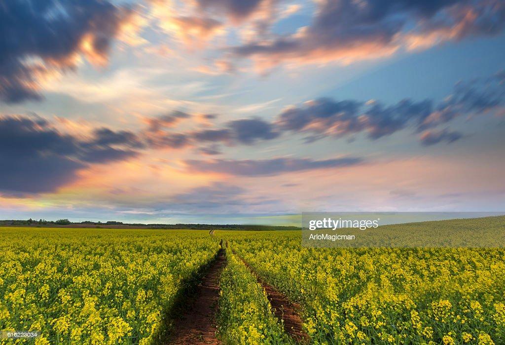 yellow flower field : Stock Photo