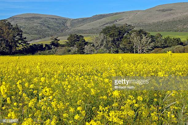 yellow flower field - san mateo county stock pictures, royalty-free photos & images