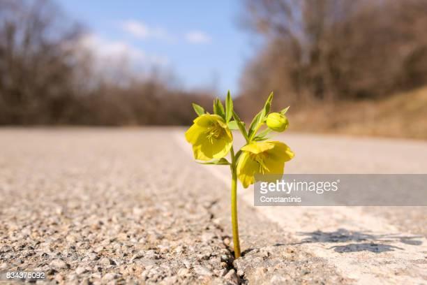 gelbe blume wächst auf crack straße - überleben stock-fotos und bilder