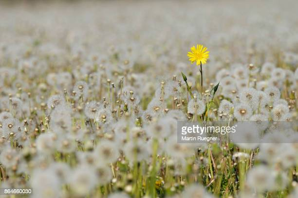 yellow flower in meadow of dandelion (taraxacum officinale) sead heads (dandelion clocks). - sortir du lot photos et images de collection