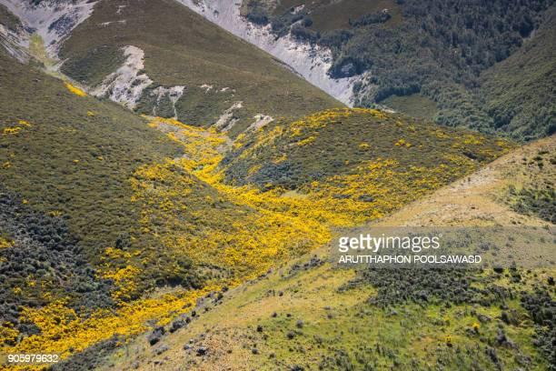 Yellow flower in summer new zealand