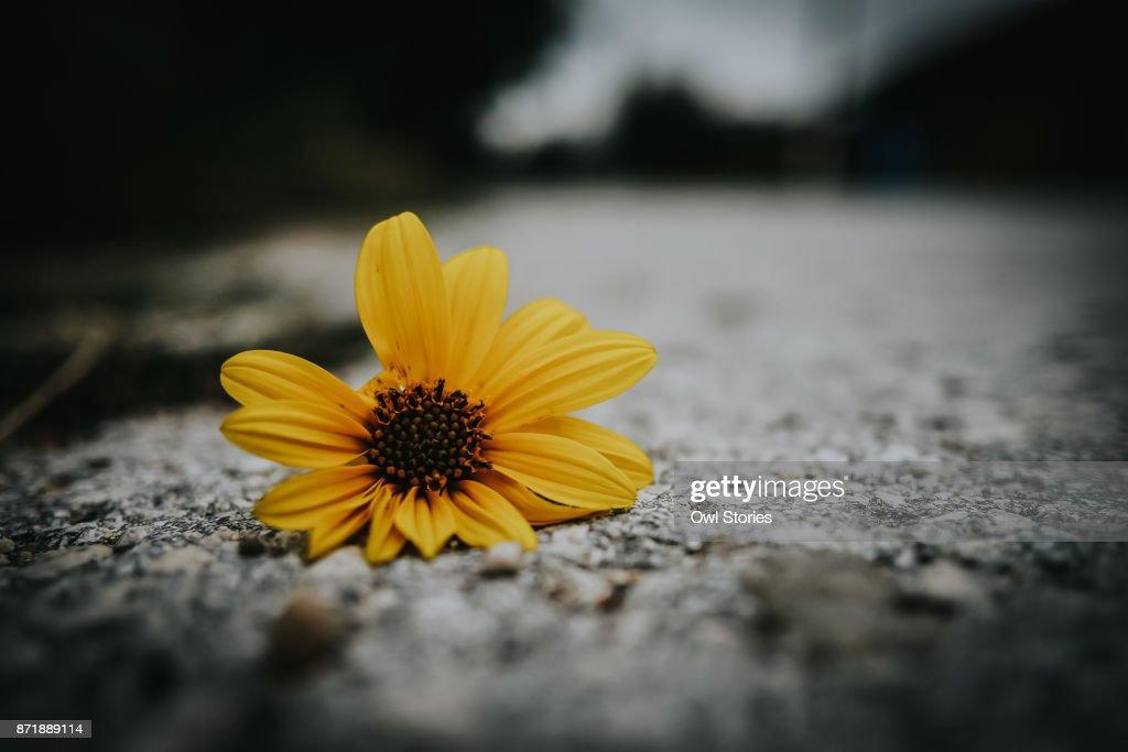 Yellow flower lying on a cobblestone street : Stock Photo